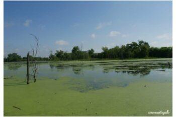 celery bog